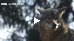 Expositie De wolf in Drenthe volop in de publiciteit