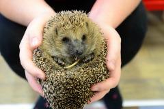 hedgehog-4949843_1920