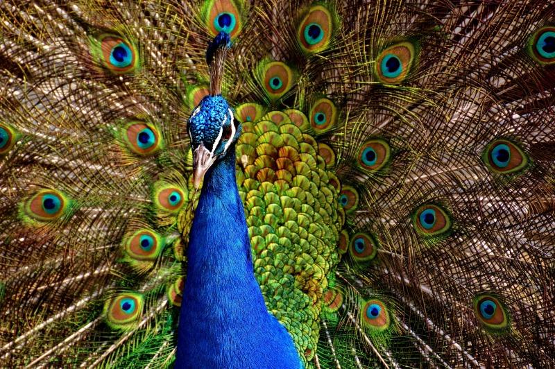 peacock-2479685_1920