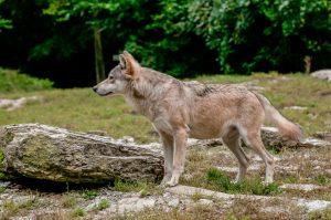 Lezing 'Het leven van de wolf'